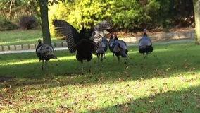 Wild turkeys take over Toms River community