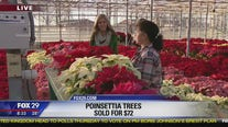 National Poinsettia Day: Fun facts about the holiday flower