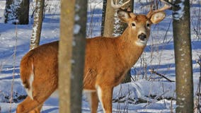 Pennsylvania game commission investigates video showing injured deer being abused