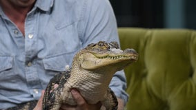 Louisiana sues California over alligator ban