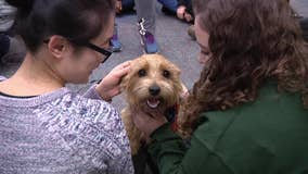 Therapy dog visits West Chester University to help relieve stress during finals week
