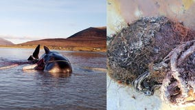 Sperm whale found dead with 220 pound 'ball' of trash in stomach