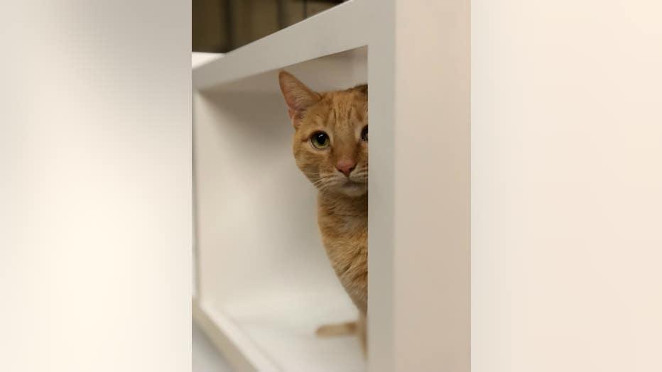 Wood shop kitty Mango