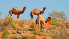 10,000 feral camels at risk of being shot as they search for water amid Australia's severe drought