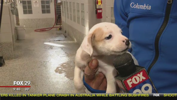 Brandywine SPCA rescues 30 dogs airlifted from earthquake-rattled Puerto Rico