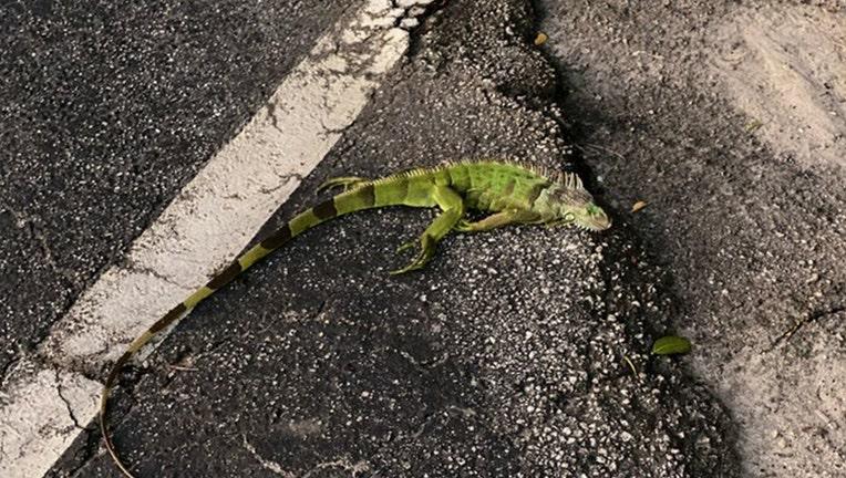 cold-stunned-iguanas.jpg