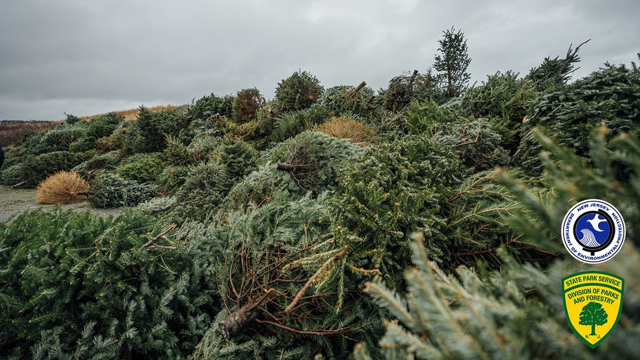 Hundreds of Christmas trees were donated to improve the sand dunes at Island Beach State Park in New Jersey.