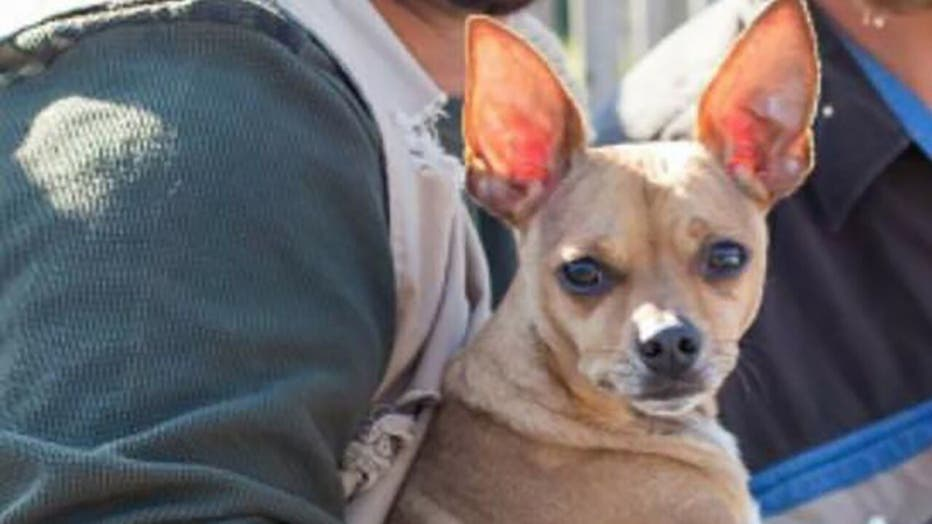 Max the Chihuahua found after going missing from crash site