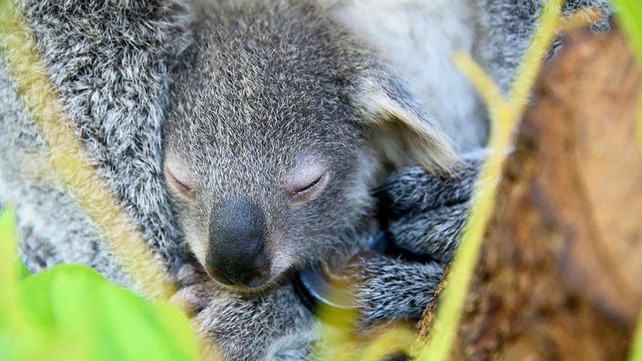 zoo-miami-koala-baby-2.jpg