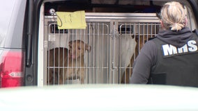 21 dogs saved from Detroit dog fighting ring, one person arrested