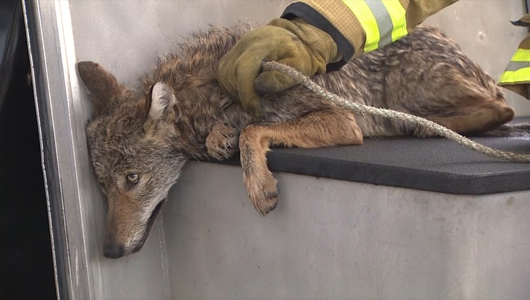 A Miami-Dade firefighter rests his hand on the exhausted coyote, who was just rescued from PortMiami.