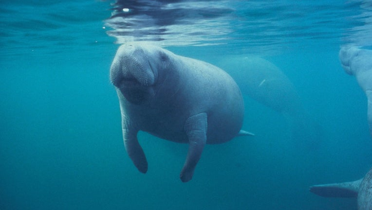 Manatees swim close to the surface and frequently come up for air.