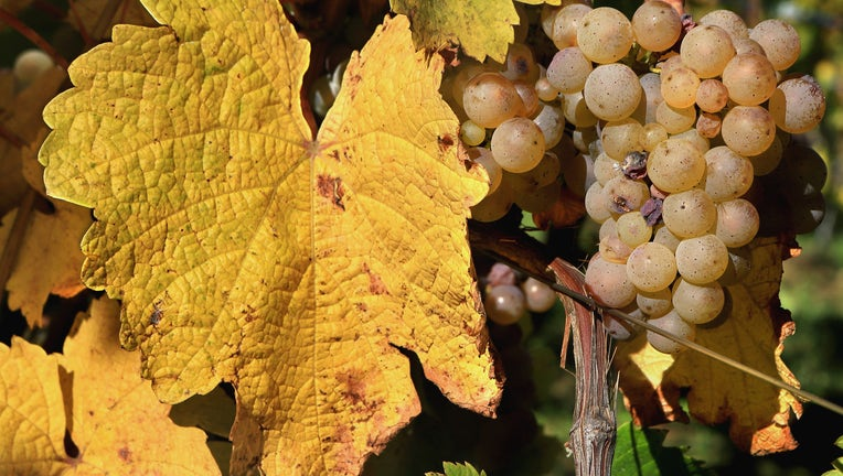 Autumn In The Vineyards Of Alsace