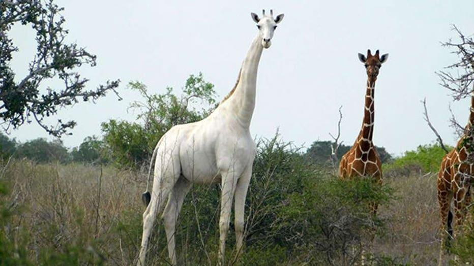 7cf1d228-white giraffe