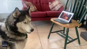 Dog buddies 'chat' on video call during COVID-19 lockdown