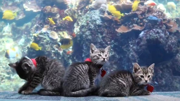 Kittens from Atlanta Humane Society tour Georgia Aquarium during coronavirus closure
