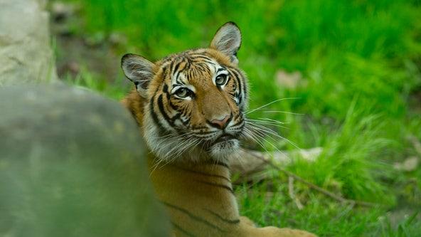 Tiger at NYC Bronx Zoo positive for coronavirus