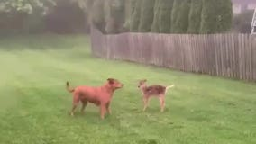 Video shows dog and fawn playing together in West Chester yard