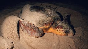 Loggerhead sea turtle nesting on Outer Banks beach struck, killed by illegal driver, NPS says