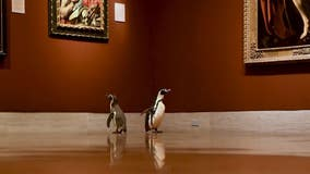 Penguins get private tour of Kansas City art museum closed during pandemic