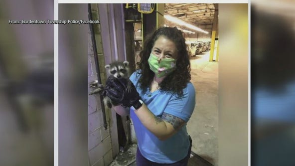 Bordentown animal control officer rescues injured baby raccoons