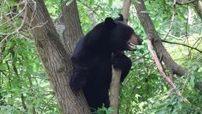 Black bear spotted in Bucks County as sightings continue across region