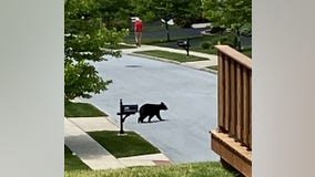 Black bear safely captured by game commission in Chester County
