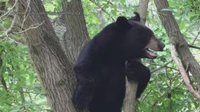 Bear spotted roaming in Winslow Township