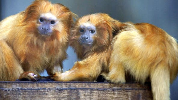 Coronavirus disrupts global fight to save endangered species