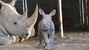 Monarto Safari Park welcomes birth of Southern White Rhinoceros calf