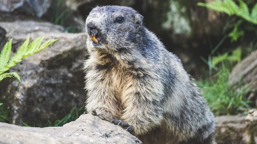 Mongolian teen dies of bubonic plague after eating infected marmot