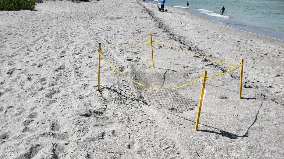 captiva sea turtle nest damage 3