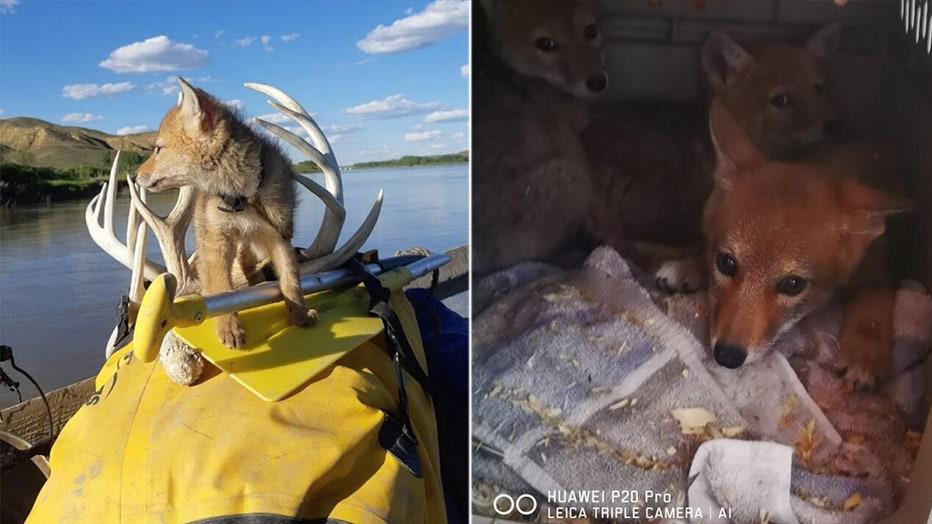 coyote-pup-rescued-3.jpg