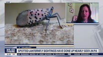 Officials say spotted lanternfly sightings, invasions up drastically this year