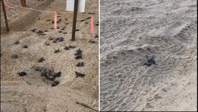 Turtle hatchlings scramble across Outer Banks beach on journey to sea