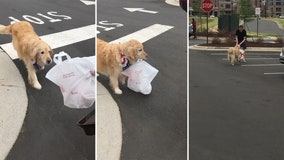 North Carolina golden retriever does her part delivering Chick-fil-A orders to owner