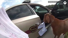 Goat climbs into deputy's car, chews papers in Georgia