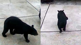 VIDEO: 3-legged bear takes Diet Coke from Central Florida garage