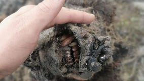 'Completely preserved' Ice Age cave bear found in Arctic Russia