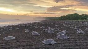 Hundreds of sea turtles cross beach for mass nesting in Costa Rica