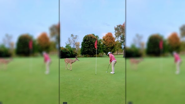 Curious deer watches closely as golfer sinks putt