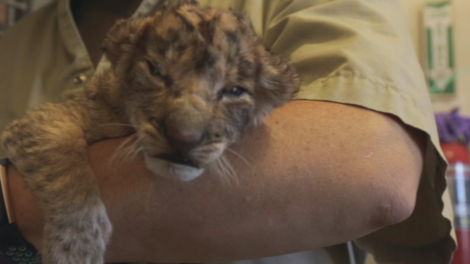 Dallas-Zoo-Lion-Cubs_KDFW33f7_174_mp4_00.00.43.11.png