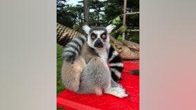 Ring-tailed lemur presumed stolen from San Francisco Zoo