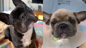 15 French bulldogs found at O'Hare warehouse allowed to stay in U.S.