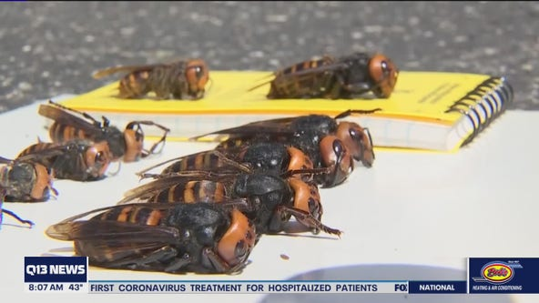 Crews vacuum 'murder hornets' out of Washington nest