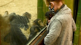 Baby chimp gets new foster family at Maryland zoo