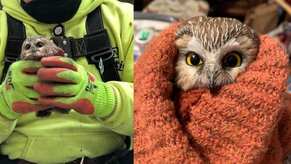Owl found in Rockefeller Christmas tree has been set free