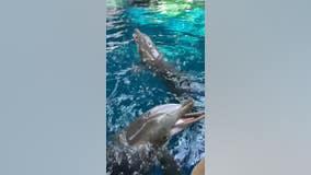 Dolphins have a blast as trainers blow bubbles at Georgia Aquarium