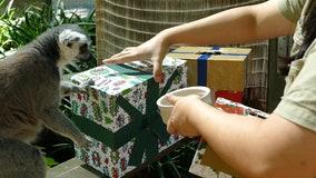 Australian zoo animals tear open Christmas gifts to kick off holiday season