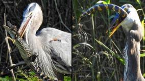 'Savage' heron eats juvenile alligator on Lake Apopka